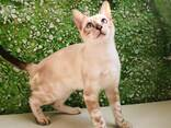 Бенгальские котята - photo 3