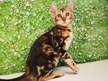 Бенгальские котята - photo 10