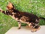 Бенгальские котята - photo 14