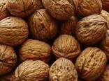 Wholesale Walnuts from Ukraine - photo 2