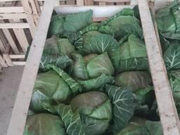 Продаем молодую капусту из Узбекистана